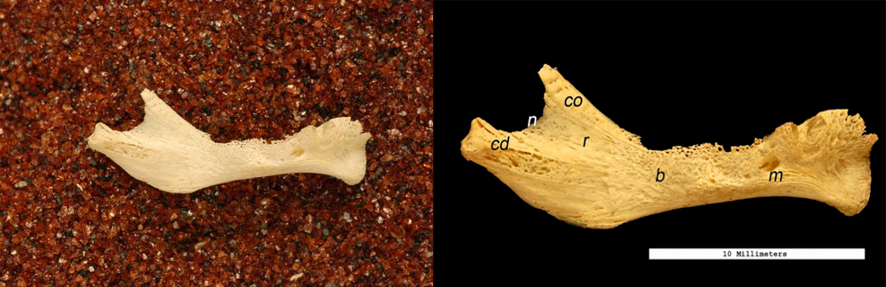 Buccal view of the right mandible. Pans of sand were used to stabilize the bones for photography. During post-production of the images, the sand was removed and markers were added to show scale and significant structures.